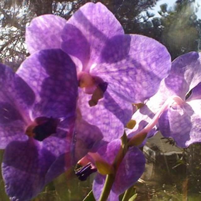 Vanda Orchidee blüht Ostern-2010