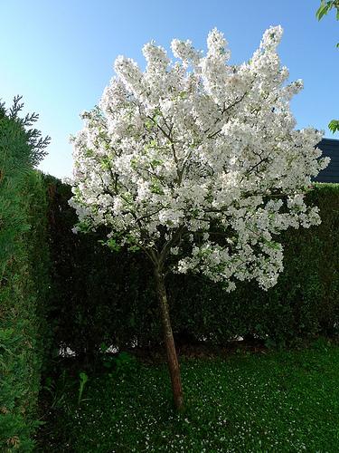 zierapfelbaum-bluete
