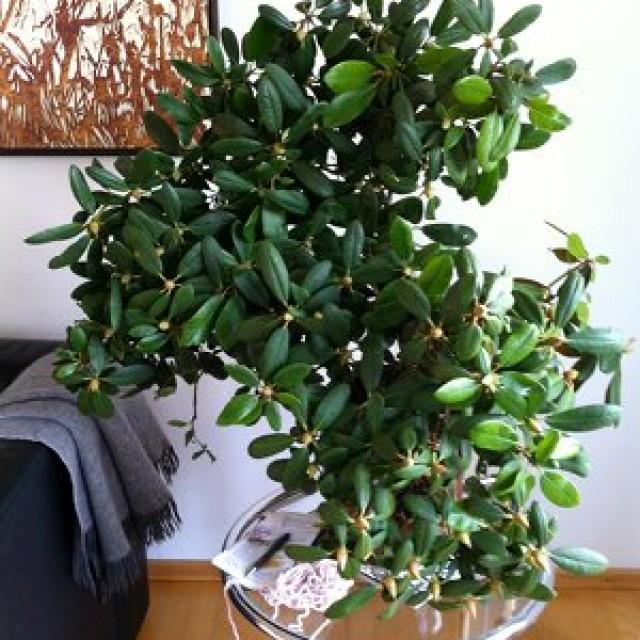 Vasen sind die Wohnung von Pflanzen: Rhododendron